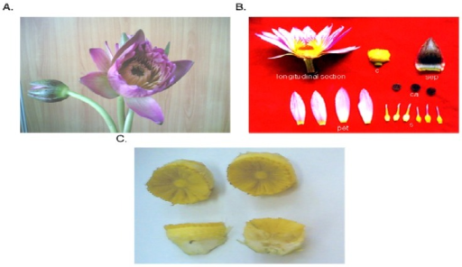(A) The flower of Nymphaea rubra Roxb.; (B) Schematic of a longitudinal section through a quartered portion of the flower, (sep) sepals, (pet) petals, (s) stamen, (ca) carpellary appendage, (c) carpel; (C) The carpel of Nymphaea rubra Roxb.