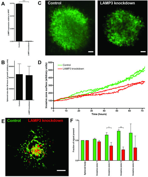 Knockdown of LAMP3 reduces invasion of spheroids into collagen. (A) Expression of LAMP3 mRNA in control cells versus LAMP3 knockdown cells. (B) Spheroid size of MDA-MB-231 control and LAMP3 knockdown spheroids after 4 days of growth. Results are from two independent experiments with 32 replicates each. (C) F-actin staining of MDA-MB-231 spheroids of control and LAMP3 knockdown cells, after 6 days of invasion in collagen. Bar is 100 μm, original magnification is 50 x. (D) Surface of collagen invaded by MDA-MB-231 control and LAMP3 knockdown spheroids during 72 hours. (E) Collagen invasion of a mixed MDA-MB-231 spheroid after 6 days. Control cells were labeled with CellTracker Green and LAMP3 knockdown cells were labeled with CellTracker Orange. Control and LAMP3 knockdown cells were mixed in a 1:1 ratio. Bar is 100 μm, original magnification is 100 x. (F) Quantification of E. The total amount of green and red signal was analyzed in five different zones: the spheroid body and four consecutive invasive zones, n = 5. LAMP3, lysosomal-associated membrane protein 3.