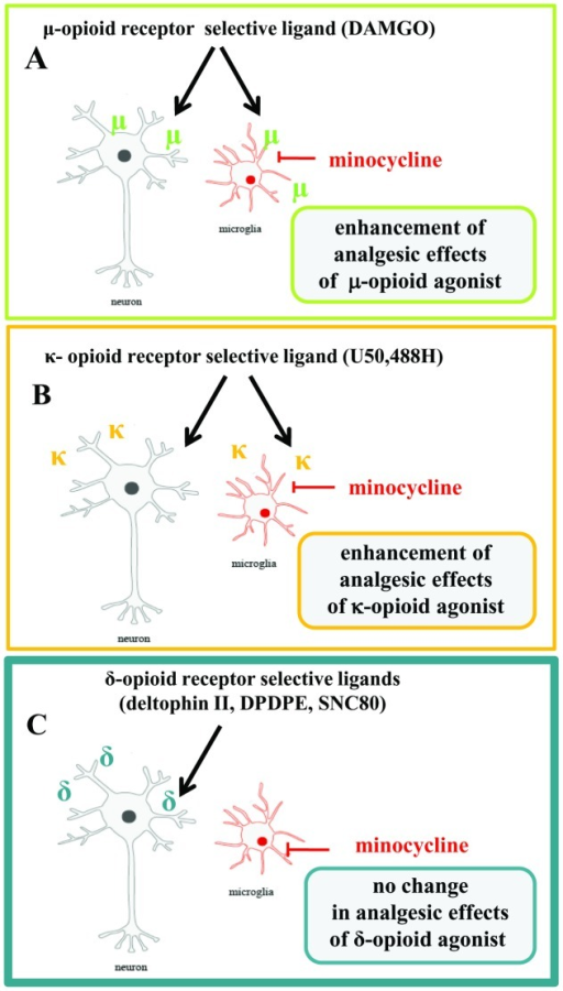 The possible influence of minocycline on analgesia after opioid receptors ligands.In our opinion, activated spinal microglia are key factors in the development of neuropathic pain and play a major role in the antagonizing of some opioids effectiveness. The results of our paper show for the first time that that DOR, in contrast to MOR and KOR, is not present in microglial cells. This phenomenon might be responsible for the different analgesic effects of MOR, KOR and DOR ligands (Fig. 2 and 3). We provide evidence that minocycline (a potent inhibitor of microglial activation and proliferation) enhances the effects of selective MOR (DAMGO; Fig. 2C,D) and selective KOR (U50,488H; Fig. 2E,F) agonists by inhibition of microglial cell activation. The effectiveness of DOR agonists (DPDPE, deltorphin II and SNC80) is not changed by minocycline (Fig. 3A–F). Our results indicate that an important element of the effectiveness of opioid drugs in neuropathic pain is the activation of microglia. The lack of DOR receptors in these cells causes that DOR receptor-mediated analgesia is not weaker under neuropathic pain, in which there is a strong activation of microglia. Earlier inhibition of microglial activation by minocycline administration therefore did not influence the effect of DOR selective agonists. The above results indicate not only that minocycline potentiates analgesia after MOR and KOR agonists but also that DOR is a potentially important target in the search for new drugs that would be effective against neuropathic pain.