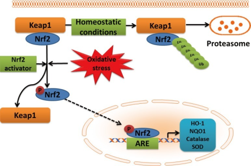 Schematic presentation of NF-E2-related factor 2 (Nrf2)-antioxidant response element (ARE) pathway activation by reactive oxygen species (ROS). In the cytoplasm, under normal conditions, Nrf2 is constitutively bound to Keap1 protein. Keap1 inhibits Nrf2 signaling pathway by promoting Nrf2 ubiquitination and subsequent degradation through proteasomal pathway. Mild oxidative stress and Nrf2 activators cause dissociation of Nrf2-Keap1 complex, phosphorylation of Nrf2, and the nuclear translocation. In the nucleus, Nrf2 promotes transcriptional activation of antioxidants (heme oxygenase-1 [HO-1], NAD(P)H:quinone oxidoreductase 1 [NQO1], catalase, and superoxide dismutase [SOD]) and detoxifying enzymes by binding to the ARE in the promoter regions of the target genes.