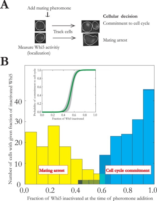 Predictability of the proliferation decision in budding yeast. (A) Cells that are committed to the cell cycle do not arrest upon exposure to mating pheromone. Whi5 activity was measured up until pheromone addition, and this information was used to predict whether a cell would arrest or divide when exposed to pheromone. (B) Histograms and logistic regression curve showing the ability of a single Whi5 measurement at the time of pheromone exposure to predict cell state. The shaded region in the logistic regression indicates 95% confidence interval (by bootstrapping). Data from Doncic et al. (2011).