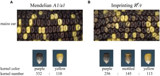 Comparison of Mendelian genetic inheritance and imprinted inheritance. (A) The a1 locus shows Mendelian inheritance in self-pollinations of A1/a1 individuals. Full purple color kernels are dominant over yellow kernels and the progeny segregate in a 3:1 ratio. (B) The Rr allele shows imprinted inheritance. Self-pollination of Rr/r yields three kernel color types in a 2:1:1 ratio of purple to mottled to yellow kernels. Purple kernels inherited the Rr allele from the megagametophyte. Mottled kernels are heterozygous individuals that inherited the Rr allele from the pollen. Kernel counts are given for the ears shown in the upper panels.