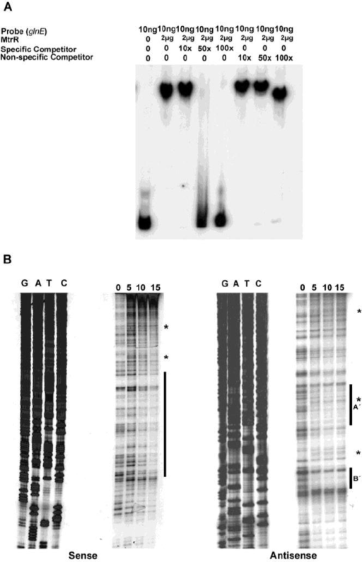 Identification of the MtrR-binding site in the glnE upstream DNA. (A) The binding specificity of MtrR for the DNA shown in Figure 1 was determined by competitive EMSA; (B) The MtrR-binding sites within this sequence were identified by DNase I protection assays that employed increasing amounts of purified MtrR-MBP (0, 5, 10, and 15 μg) with both sense and anti-sense probes. The protected regions on each probe are identified by the black bars and the two sites on the anti-sense strand are labeled as A′ and B′. Regions containing DNase I hypersensitive sites, which could contain more than one nucleotide, on the sense and antisense strands are denoted by *. The sequencing reactions for each probe are adjacent to the DNase I protection reactions and oriented G, A, T, C.