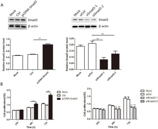 Smad3 promoted the proliferation of heat-denatured fibroblasts.(A) Western blotting analyses confirmed upregulation and downregulation of Smad3 in fibroblasts by pcDNA-Smad3 plasmid or siRNA, respectively. (B) Cell proliferation was measured by CCK-8 assay after transfection with pcDNA-Smad3 or siRNA. *P < 0.05, **P < 0.01, siRNA group versus control group, pcDNA group versus control group.
