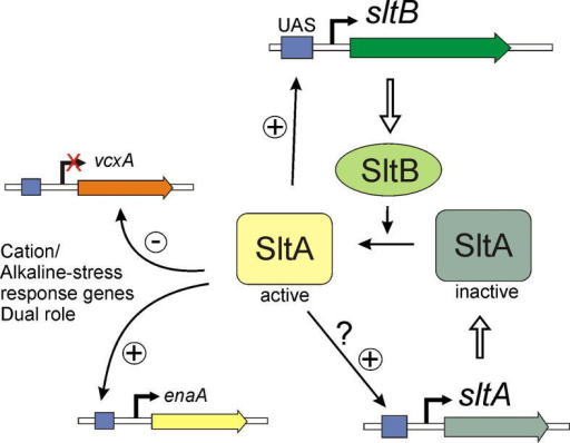 Working model of the slt regulatory pathway. The SltA transcription factor alternates between two forms, one active and the other inactive. The SltB protein is a signaling element that mediates conversion of SltA into an active regulator of transcription. Among the genes under the control of SltA are those involved in tolerance to cation stress and alkalinity. SltA has a dual activity (Findon et al., 2010; Spielvogel et al., 2008), acting negatively in the transcription of vcxA (a vacuolar cation exchanger coding gene) and acting positively in the expression of enaA (a sodium transporter). SltA is also required for the expression of sltB and probably is involved in its own transcriptional regulation, in both cases through binding to UAS sequences in the promoter.