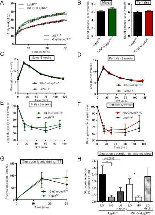 iGluCreLepRKOmice display normal glucose tolerance and fasting blood glucose levels. (A) Body weight followed for 30 weeks in male (green) and female (red) iGluCreLepRKO and LepRF/F mice (n = 12–19 mice per genotype). (B) Fasting blood glucose levels in 8 week old males and females (n = 6–11 mice per genotype). (C,D) Blood glucose concentration after IPGTT in male and female iGluCreLepRKO (square symbol) and LepRF/F (green triangle) mice. Blood glucose concentration after ITT in males: (E) iGluCreLepRKO, n = 8, LepRF/F, n = 7; and females: (F) iGluCreLepRKO, n = 8, LepRF/F, n = 10. Plasma glucagon levels during ITT, iGluCreLepRKO, n = 6, LepRF/F, n = 4, (G), and glucagon release from isolated islets in the presence of the indicated glucose concentrations: LG = 0.5 mM, HG = 10 mM glucose; n = 6 animals per genotype (H). When present, leptin was added to 10 nM. Data are expressed as the mean ± SEM and statistical comparison was through two-way ANOVA, *p < 0.05. Other details are provided in the Materials and Methods section.