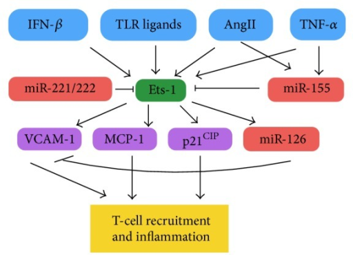The interaction of miR-155, miR-221/222, and miR-126 in regulation of Ets-1 driven endothelial cell inflammation. A variety of proinflammatory extracellular factors induce Ets-1 transcription which subsequently induces expression of EC proteins involved in T-cell recruitment. miR-155 and miR-221/222 act to reduce translation of Ets-1, while miR-126 acts further downstream to reduce VCAM-1 translation.