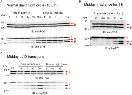 Phosphorylation of RCA at the Thr78 site is light/dark regulated in vivo. (A) Plants sampled at different times of the normal diurnal light/dark cycle. (B) Transfer of plants at midday to low light and darkness for 1 h. (C) Time course of a light-dark-light transfer of plants at midday. The experiment started 5 h after the beginning of the photoperiod (L5 sample). In each blot, the bands corresponding to the α- and β-isoforms are indicated. The red asterisk in the anti-pT78 blots indicates an off-target signal that serves as a loading control.
