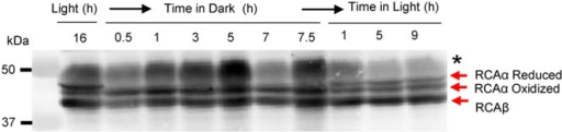 In vivo oxidation of the RCA α-isoform in the dark occurs rapidly and involves an intramolecular disulfide bond. Leaves were harvested at the indicated times and subjected by non-reducing SDS-PAGE followed by immunoblotting with anti-RCA antibodies. The bands corresponding to reduced- and oxidized-RCAα and the single RCAβ isoform are indicated; the black asterisk identifies the RbcL protein, which shows increased antibody reaction when electrophoresis is performed under non-reducing conditions.