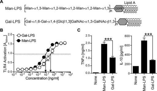 Comparison of BM-DC response to Man and Gal-LPS.A, two LPS used in this study are shown. Man-LPS from H. alvei PCM 1223 has a mannosylated repeating unit, whereas Gal-LPS from S. enterica O66 has a galactosylated repeat. B, HEK293 cells stably transfected with TLR4-MD2 were cultured in the presence of LPS. The TLR4 activation was monitored by measuring alkaline phosphatase activity using the substrate. C, mouse BM-DCs were stimulated with 1 μg/ml Man-LPS or 4 μg/ml Gal-LPS for 7 h. The amount of TNFα and IL-10 in the culture supernatant was analyzed by ELISA. Data are representative of three independent experiments with similar results. Error bars, S.D. Statistical analyses were performed by one-way ANOVA followed by Tukey's test. ***, p < 0.001.