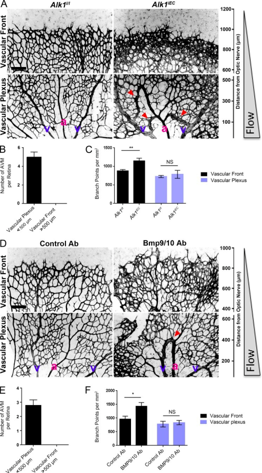 Effects of blood flow on the development of retinal AVMs under impaired Alk1 signaling. (A) Representative images of P5 retinas stained with isolectin B4 to identify blood vessels in control (Alk1l/l) and Alk1iEC (Cdh5-CreERT2-Alk1iEC) mice after 50 µg tamoxifen injection at P3. (B) Quantification of the number of AVMs in the proximal (<500 µm from the optic nerve) versus distal (>500 µm from the optic nerve) regions of the retina (n = 5). (C) Quantification of the number of branch points in Alk1l/l and Cdh5-CreERT2 (Alk1iEC) mice in the proximal versus distal regions (n = 5, Mann–Whitney; **, P < 0.005). (D) Representative images of P5 retinal vessels from pups injected at P3 with control or BMP9/BMP10 blocking antibodies. v, vein; a, artery. (E and F) Quantification of the number of AVMs (E) or branch points (F) in the proximal and distal regions in mice injected with control or BMP9/BMP10 blocking antibodies (n = 5, Mann–Whitney; *, P < 0.05). Bars, 150 µm. NS, not significant. Error bars represent SEM.