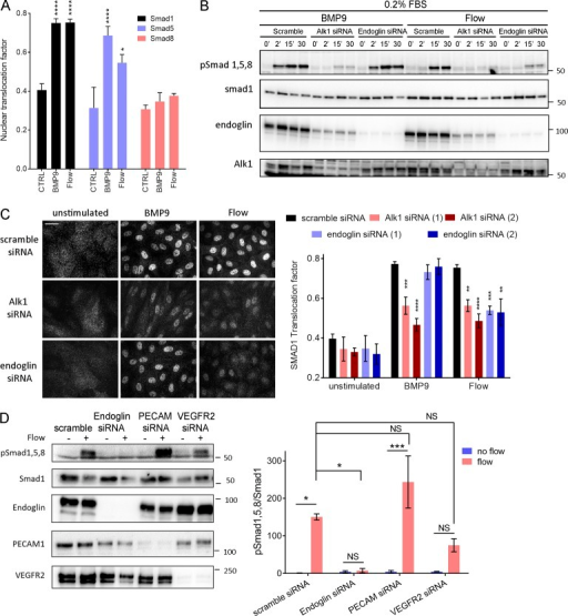 Alk1 signaling in response to FSS. (A) Nuclear translocation of Smad1, Smad5, and Smad8 in response to 1 ng/ml BMP9 or 12 dynes/cm2 for 45 min (n = 3–8, ANOVA two-way; *, P < 0.05; ****, P < 0.0001). (B) Representative Western blots of phosphorylated Smad1,5,8, Smad1, Alk1 and endoglin in response to 1 ng/ml BMP9 or 12 dynes/cm2 FSS for the indicated times. Actin was used as a loading control. (C) Representative staining of Smad1 in response to 1 ng/ml BMP9 or 12 dynes/cm2 for 45 min in HUVECs transfected with the indicated siRNAs (siRNA 1: QIAGEN; siRNA 2: GE Healthcare; n = 3–11, two-way ANOVA; **, P < 0.01; ***, P < 0.001; ****, P < 0.0001). Bar, 10 µm. (D) Representative Western blot of Smad1/5/8 phosphorylation in response to 15 min of 12 dynes/cm2 FSS in cells transfected with the indicated siRNAs (n = 3, ANOVA; *, P < 0.05; ***, P < 0.001). NS, not significant.