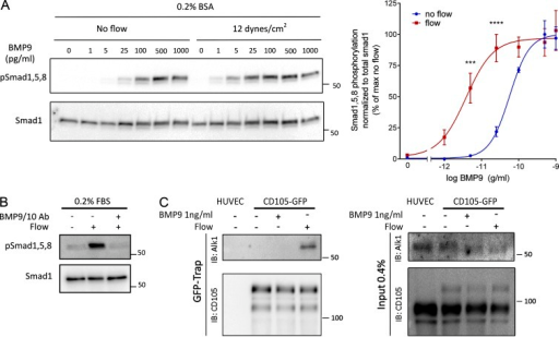 Potentiation of BMP9 responses by FSS. (A) Representative Western blot of Smad1/5/8 phosphorylation in response to the indicated concentrations of BMP9 in serum-free media with or without flow for 45 min (n = 4, two-way ANOVA; ***, P < 0.001; ****, P < 0.0001, BMP9 EC50: 56 pg/ml without flow, 3.6 pg/ml with flow). (B) Representative Western blot of Smad1/5/8 phosphorylation in response to 12 dynes/cm2 for 45 min in the presence or absence of two blocking antibodies against BMP9 and BMP10 (each at 100 ng/ml). (C) Association of endoglin-GFP with endogenous Alk1 in response to 1 ng/ml BMP9 or 12 dynes/cm2 flow for 15 min. GFP-tagged proteins were captured with a GFP-trap and immunoprecipitations analyzed by immunoblotting (IB) as indicated.