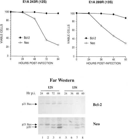 Appearance of a  Bcl-2–interacting polypeptide during E1A-induced apoptosis. KB cells expressing  neomycin resistance, either  alone (Neo) or together with  Bcl-2, were infected with either adenovirus dl520E1B−  (expressing 12S E1A and no  E1B products) or pm1760/ 2072 (expressing 12S and 13S  E1A but not E1B 19K). At  the indicated times after infection, samples of cells were  either assessed for viability  by exclusion of trypan blue  (graph) or prepared for  ligand blot (Far Western)  analysis, as described in Materials and Methods, using  32P-Bcl-2Δc21/his6/HMK as a  probe (upper panel, Bcl- 2–expressing cells; lower  panel, Neo control cells).  Ligand blots were visualized  by phosphorimaging. The radioactive band associated  with a polypeptide of Mr 20  kD is labeled p20, whereas  that which comigrates with  Bax is designated p21 Bax.  The latter was determined  using a blot cut along the vertical midline of a protein lane  and developing one half by  immunoblot analysis with  anti–human Bax (Chen et al.,  1996) and the other by ligand  blotting with 32P-Bcl-2Δc21/ his6/HMK (results not shown).