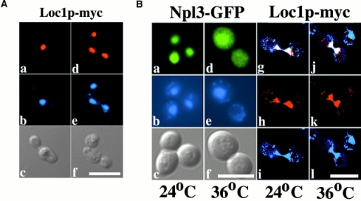 Intracellular distribution of the Loc1p-myc protein. (A) Immunofluorescence detection of the Loc1p-myc. Strain YLM090 (loc1) was transformed with the plasmid pRL094 (LOC1-MYC). Loc1p-myc (in red) is expressed throughout the cell cycle and appears to be strictly nuclear (see DAPI, in blue). The two panels show cells before (left) and during (right) anaphase. Bar, 10 μm. (B) Shuttling assay for Loc1p-myc protein. (a–f) Npl3p-GFP at 24°C (a–c) and 36°C (d–f). (g–l) Loc1p-myc at 24°C (g–i) and 36°C (j–l). Whereas the Npl3p-GFP (in green) accumulates in the cytoplasm after a temperature shift from 24°C (a) to 36°C (d), Loc1p-myc (in red) remains in the nucleus at 24°C (g) and 36°C (j). g and j are an overlap of images h and i, and k and l, respectively. b, e, i, and l are DAPI staining (in blue) and c and f are Nomarski. Bar, 10 μm. (C) Heterokaryon shuttling assay for Loc1p-myc. (a–c) Loc1p-myc. (d–f) Npl3p-GFP. Binuclear yeasts show no accumulation of Loc1p-myc (in red) in the second nucleus (a), whereas Npl3p-GFP (in green) appears in both nuclei after cell fusion (d). b and e are DAPI staining (in blue) and c and f are Nomarski. Bar, 10 μm.