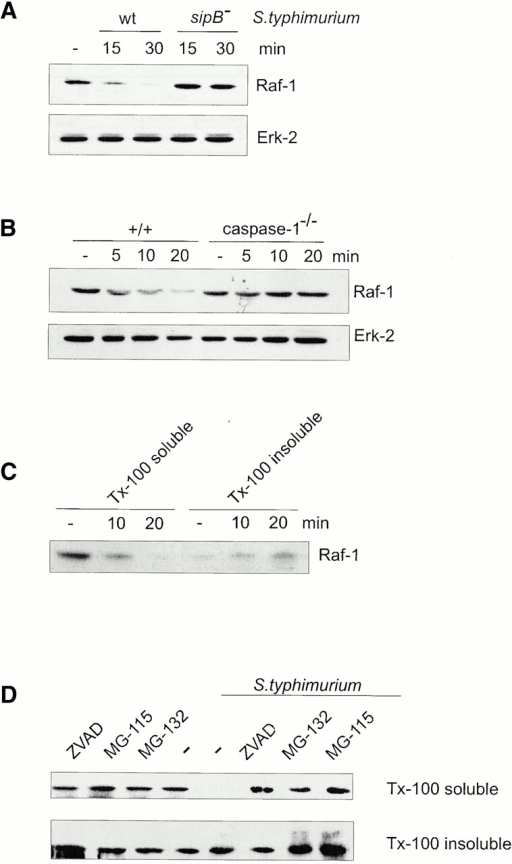 Raf-1 degradation is a consequence of macrophage apoptosis and is inhibited by proteasome inhibitors. (A) Bone marrow–derived macrophages were infected with either wt or sipB− Salmonella. (B) Primary macrophages were isolated from control (+/+) or caspase-1–deficient mice (caspase-1−/−) and infected with invasive Salmonella. The amount of Raf-1 in Triton X-100 extracts of whole cells was determined by immunoblotting. (C) Macrophages were infected with invasive bacteria. The cells were lysed at the indicated times after infection, and the Triton X-100 (Tx-100) soluble fractions (30 μg, 1/10 of total) and the whole insoluble fractions were analyzed by immunoblotting with a Raf-1 antiserum. (D) Macrophages were treated with a caspase inhibitor (200 μM ZVAD-fmk) or with proteasome inhibitors (10 μM MG-132 and 10 μM MG-115) for 90 min before infection with Salmonella for 15 min. The amount of Raf-1 in the detergent-soluble and -insoluble fractions of whole cell lysates was determined by immunoblotting.