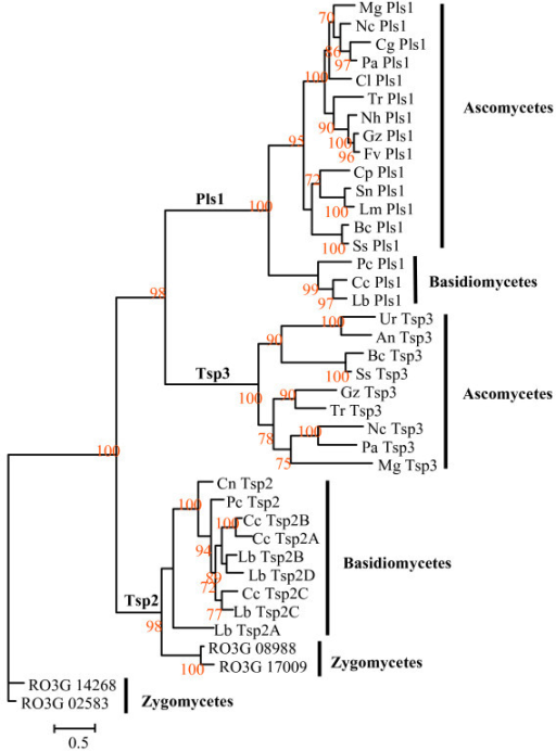 Phylogenetic tree of fungal Pls1, Tsp2 and Tsp3 tetraspanins. The Pls1, Tsp2 and Tsp3 were aligned using ClustalX 1.8. Aligned sequences were analyzed by maximum likelihood using PHYML and RO3G_14268 and RO3G_02583 from R. oryzae as outgroups [see Additional files 4]. Bootstraps values are expressed as percentage of 100 replicates. Mg: Magnaporthe grisea, Cg: Chaetomium globosum, Cl: Colletotrichum lindemuthianum, Nc: Neurospora crassa, Pa: Podospora anserina, Nh: Nectria haematococca, Gz: Gibberella zeae, Fv: Fusarium verticilloides, Tr: Trichoderma reesei, Sn: Stagonospora nodorum, Lm: Leptosphaeria maculans, Cp: Coccidioides posadasii, Bc: Botrytis cinerea, Ss: Sclerotinia sclerotiorum, An: Aspergillus niger, Lb: Laccaria bicolor, Cc: Coprinus cinereus, Pc: Phanerochete chrisosporium, Cn: Cryptococcus neoformans, Ur:Uncinocarpus reesii.