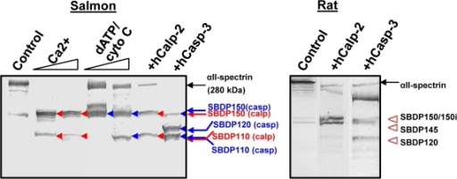 Endogenous and exogenous calpain and caspase-3 digestion of αII-spectrin in salmon brain lysate.Control Salmon brain was either untreated, or incubated with dATP and cytochrome-C (to activate endogenous caspase) or with CaCl2 (to activate endogenous calpain) or digested with exogenously added human calpain-2 or caspase-3. The masses of SBDP fragments or various molecular weight markers are as indicated (Left panel). Fragments produced by calpain are indicated with red arrows (SBDP150 and SBDP110), while those produced by caspase are indicated with blue arrows (SBDP150, SBDP120 and SBDP110). For comparison, rat brain lysate (control, or digested with calpain-2 (producing SBDP150 and SBDP145) or caspase-3 (producing SBDP150i and SBDP120) was also included (right panel), as described before [8], [27], [28].
