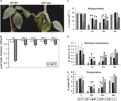 Elevated levels of BiP confer drought tolerance to soybean plants under a restricted water regime. (A) Overexpression of BiP maintains leaf turgidity under drought. Drought stress was induced by reducing irrigation to 40% of the daily normal water supply. The leaves were photographed on day 18 of the experiment. (B) Leaf water potential of transgenic leaves under drought stress (reducing daily irrigation). Each value represents the mean ±SD of five replicates from three independent experiments. The asterisks indicate significant differences at P ≤0.05 as compared to the wild type. I, normally irrigated; DS, drought stress. (C, D, E) Photosynthesis and water relations in soybean transgenic lines continuously irrigated or exposed to the drought regime. Photosynthetic rate (C), stomatal conductance (D), and transpiration rate (E) of the third fully expanded leaf of WT and transgenic lines (as indicated) were measured by the LI-6400 infrared (IR) gas analyser at 1000 μmol m−2 s−1 irradiance. I, control leaves (normal irrigation). DS, leaves after 18 d of drought stress (40% of normal daily irrigation). After 18 d under the restricted water regime, the plants were rewatered with a normal water supply for 5 d (RW-5d) or 14 d (RW-5d). Each value represents the mean ±SD of five replicates from three independent experiments. The asterisks indicate significant differences at P ≤0.05 as compared to the wild type.
