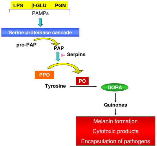 A serine proteinase cascade is activated when different receptors recognize pathogen-associated molecular patterns (PAMPs). These serine proteases hydrolyze and activate the prophenoloxidase-activating proteinase precursor (proPAP) to prophenoloxidase-activating proteinase (PAP) that can be inhibited by serpins (proteinase inhibitors). The enzyme PAP hydrolyses prophenoloxidase (PPO) releasing phenoloxidase (PO). PO oxidizes tyrosine to dihydroxyphenylalanine (DOPA) and subsequently into quinones, the precursors of melanin, cytotoxic products and encapsulation of pathogens.