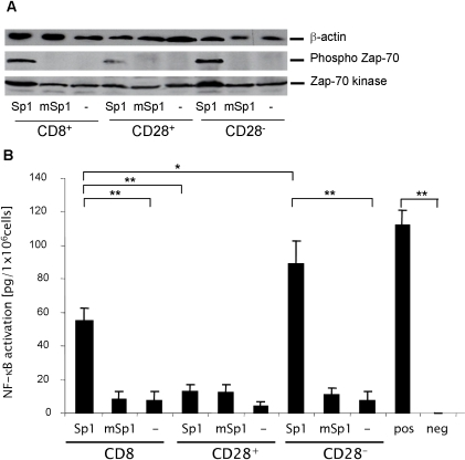 Sp1 induces TCR-mediated activation in CD8+CD28− T lymphocytes.A. Sp1 induces phosphorylation of Zap-70 kinase and total Zap-70 kinase in CD8+CD28− T lymphocytes. CD8+, CD8+CD28−, and CD8+CD28+ were incubated in the presence of Sp1, mSp1 (100 µg/ml, respectively), or in medium alone for 4 h. Western blotting was performed with a phospho-Zap-70, Zap-70 kinase-, and a β-actin-specific antibody as a control. A representative blot out of three experiments is shown. B. Sp1 induces NF-κB activity in CD8+CD28− T lymphocytes. CD8+, CD8+CD28−, and CD8+CD28+ were incubated in the presence of Sp1, mSp1 (100 µg/ml, respectively), or in medium alone for 2 h. The nuclear extract of treated cells from 4 mice was analyzed by ELISA for NF-kB activity. As a positive control, the nuclear extract from Jurkat cells and as a negative control complete lysis buffer was used. The experiment was repeated three times in an independent manner. Columns indicate the mean NF-kB activity, bars indicate the standard deviation. **p<0.001,*p = 0.01.