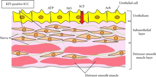 Distribution and morphology of Kit-positive suburothelial and detrusor ICCs and interaction with urothelium, nerves, and smooth muscle.