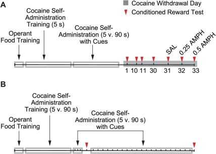 Timeline of behavioural training and testing.In Experiment 1 (panel A) we examined the effects of the speed of intravenous cocaine delivery on the acquisition, persistence and AMPH-induced potentiation of operant responding for a cocaine-paired cue. In Experiment 2 (panel B) we determined whether cues paired with rapid self-administered cocaine infusions would acquire conditioned reinforcing properties sooner than cues paired with slower cocaine infusions. s, seconds; SAL, saline; AMPH, amphetamine.