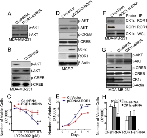 ROR1 interacts with CK1ε to activate PI3K/AKT, leading to activation of CREB.(A) MDA-MB-231tumor cells with or without ROR1 expression were examined for phosphorylated AKT at ser-473 (p-AKT) or total AKT (t-AKT). (B) MDA-MB-231 cells were cultured with (+) or without (−) LY294002 and examined for p-AKT, t-AKT, p-CREB, or t-CREB by immunobot analysis after 16 hours. (C) MDA-MB-231 cells (Ct-shRNA) or cells silenced for ROR1 (ROR1-shRNA) were cultured with different concentrations of LY294002 and monitored for cell growth after 48 hours using the WST-8 assay. The graphs depict the mean numbers of viable cells, ± S.E.M of triplicate samples, which are representative of three independent experiments. *P<0.05 and ***P<0.001). (D–E) MCF7 control cells (Ct-Vector) or cells made to express ROR1 (pCDNA3-ROR1) were examined for protein expression (D) or (E) monitored for growth over 4 days using the WST-8 assay. The graph depicts the mean numbers of viable cells ± S.E.M. over time in each of these cell lines, as indicated in the legend at the top of the figure, which are representative of three independent experiments. *P<0.05, **P<0.01 and ***P<0.001 by Student's t test. (F) Protein lysates from MDA-MB-231 cells or cells silenced for ROR1 were immunoprecipitated (IP) with ROR1 antibody. The bound immunoprecipitated products and whole cell lysate (WCL) were probed by the antibodies indicated in the Probe column. (G–H) MDA-MB-231 cells were treated without (−) or with CK1ε siRNA (CK1ε-siRNA) or control siRNA (Ct-siRNA) for 72 hours and examined for protein expression (G) or cell growth (H). The height of each bar in the graph F provides the mean number of viable cells ± S.E.M., which are representative of more than three independent experiments. P indicates the statistical significance.