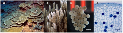 Montipora capitata colonies, their eggs and symbiotic Symbiodinium cells inside the eggs.(a) plating and (b) branching morphologies, (c) eggs seeded with Symbiodinium cells acquired from parent colonies and (d) close up of Symbiodinium cells inside the egg, lighter circles are lipid droplets, darker circles are Symbiodinium cells.