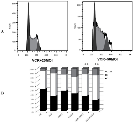 Representative FACS histograms showing the cell cycle distribution in HXO-RB44 cells following different treatments. (A) Cell cycle analysis was performed by quantifying propidium iodide (PI) incorporation by flow cytometry. DNA content and number of events were analyzed after different treatments for 48 h; (B) relative changes in the percentage in each cell cycle phase were plotted after PI staining and FACS analysis. Results are representative of three independent experiments (** p < 0.01, compared with S and G2/M phases of HXO-RB44 treated with 5 nM VCR). NC (negative control): treatment with PBS.