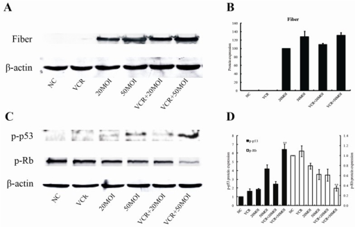 The expression patterns of Fiber, phospho-p53 and phospho-Rb in HXO-RB44 cells after different treatments for 48 h. (A) Western blot analysis of Fiber protein expression at 48 h; (B) Average band density of quantified Fiber protein after normalization to the internal control β-actin. Protein expression of Fiber in the SG600 (20 MOI) treatment group was arbitrarily set as 100; (C) western blot analysis of p-p53 and p-Rb protein expression at 48 h; (D) average band density of quantified p-p53 and p-Rb protein after normalization to the internal control β-actin. Protein expression of p-p53 and p-Rb in the NC group was arbitrarily set as 1. ** p < 0.01 relative to p-p53 and p-Rb protein expression in the SG600 or VCR (5 nM) treatment group. NC (negative control): treatment with PBS.