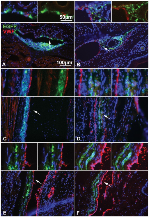 Time-course distribution of NPCs after i.v. delivery in the mouse tail.(A–F) Detection of GFP(green) to localize grafted cells and of von Willebrand factor (VWF, red) to identify endothelial cells, reveals that NPCs are localized in or around the vascular wall at 6 h (A, B) and 12–24 h (C, D) post injection, but are more distant from the vascular wall at 21 days (E, F). (A, C, E) actin eGFP control-NPCs and (B, D, F) CD44-NPCs. CD44 NPCs become more rapidly elongated and distant from the vascular wall. Moreover, in D and F, GFP+ CD44-NPCs form a double wave, which is not observed in control NPCs. Arrows point to regions enlarged in insets on top of each panel.