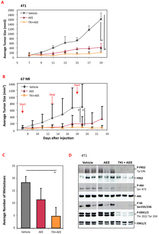 Effect of dovitinib, AEE788 or the combination of both on 4T1 and 67NR tumors. (A) Groups of 4T1 tumor-bearing mice (n = 6) were treated for 12 days with PEG300 (Vehicle), AEE788 (50 mg/kg) or a combination of dovitinib (TKI, 40 mg/kg) + AEE788. AEE788 was administered 3×/week; dovitinib daily, and tumor volume was determined; representative of two experiments. (B) Groups of 67NR tumor-bearing mice (n = 5) were treated with PEG300 (Vehicle), AEE788 (50 mg/kg) or a combination of dovitinib (TKI, 40 mg/kg) + AEE788. Treatment was performed through days 7 to 13 and days 18 to 23. Dovitinib and vehicle were dosed daily; AEE788 was administered on days 7, 9, 11 and 13, then on day 18, 20 and 22, and tumor volume was determined. (C) Quantification of the number of metastatic foci covering lungs of mice from the experiment in Panel A. N = 6, representative of two separate experiments. (D) 4T1 tumor-bearing mice were treated with PEG300, a single dose of AEE788 (50 mg/kg) or a combination of dovitinib (TKI, 40 mg/kg) + AEE788, then sacrificed 2 hrs later. Tumor lysates were prepared from three mice per group and a western analysis for the indicated proteins and phospho-proteins (P) was performed. *P < 0.05 (Mann-Whitney U-test).
