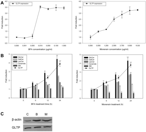 GLTP expression, GlcCer, Galcer, LacCer, ceramide and sphingomyelin synthesis in HSF cells as a function of BFA or monensin treatment.A) HFS cells were treated with BFA (left panel) or monensin (right panel) with increasing concentrations for 24 hours. The GLTP mRNA expression levels were analyzed using qPCR and corrected to an 18S rRNA internal control. B) qPCR analysis of GLTP expression (filled circles) and sphingolipid levels in HSF cells treated with BFA (0.01 µg/ml, left panel) or monensin (5 µg/ml, right panel) for 6, 12 and 24 hours, 3H-sphinganine incorporation into the sphingolipids was analyzed using TLC. qPCR results are expressed as means +/− SD of at least three independent experiments. The data for the incorporation of the radiolabeled 3H-sphinganine are from at least three different experiments, and the results are normalized to the controls. Two asterisks (**), p<0.01 and three asterisks (***), p<0.005 indicate the statistical significance compared to the controls. C) Western blot analysis of GLTP levels in HSF cells treated with BFA (0.01 µg/ml) or monensin (5 µg/ml) for 24 hours. C = untreated control, B = BFA treatment, M = monensin treatment. β-Actin was used as a loading control. The representative blot shown here was chosen from one of three independent experiments with similar results.