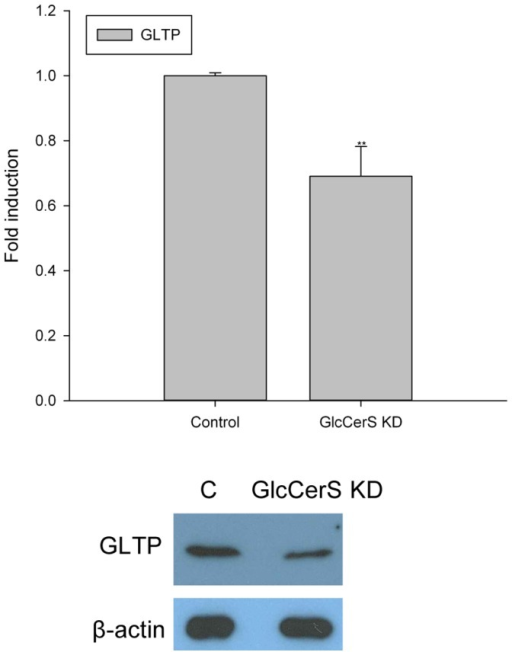 Expression of GLTP in GlcCerS knockdown HSF cells.The GLTP levels were analyzed with both qPCR and Western blot in HSF cells with 80% down-regulated expression of the GlcCerS gene. The GLTP gene level was normalized to the level in mock-transfected HSF cells, and β-actin was used as a loading control in the GLTP protein expression analysis.