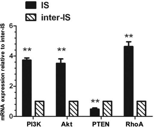 Real-time polymerase chain reaction (PCR) of the mRNA expression levels of PI3K, Akt, PTEN and RhoA at the implantation site and the inter-implantation site in the endometrium. β-actin was used as an internal control. The experiment was performed 3 times. Three mice were used in each experiment. The analysis was performed on day 5. **P<0.01 indicates statistical significance between the implantation site and inter-implantation site in the endometrium. IS, implantation site; inter-IS, inter-implantation site.