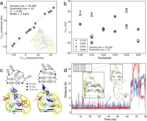 Structural characterization of conformational substates of the apical Tat binding loop of HIV-1 TAR. (a) Paired measured RDCs for apical loop nucleotides and those predicted from a 10-member weighted ensemble (inset) obtained from fitting 20 000 KGSrna samples to measured RDCs with a quadratic program. The data points are expected to lie along a 45° line if measured RDCs are accurately predicted. The coefficient of determination for the predicted RDCs equals 0.98. (b) Observed (solid symbols) and predicted (open symbols) RDCs for apical loop nucleotides. Smaller magnitudes for RDCs generally indicate more angular mobility in the bond vectors. (c) Schematic of the GS (top panel, left) and the ES (top panel, right) corresponding to the 3D structures closest to the GS and the ES in the 10-member ensemble. The bottom left panel shows the GS highlighted in the ensemble, with the other members translucent in the background. The bottom right panel shows the ES identified from biasing the sampling toward pairing C30–A35 and U31–G34. (d) Time evolution of the hydrogen bond distances between reverse wobble pair C30–A35 (blue colors) and GU wobble pair U31–G34 (red colors) in the ES of HIV-1 TAR for 80 ns of the molecular dynamics trajectory. The distances shown are between heavy donor and acceptor atoms, sampled every 100 ps. Along the trajectory, the apical loop maintains a helical structure (inset at 35 ns) until, at 65 ns, pairing of U31–G34 and subsequently C30–A35 is disrupted.
