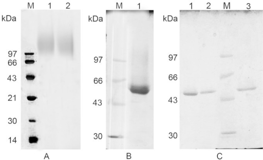 Analysis of purified recombinant BHc products by SDS–PAGE.(A) Hyper-glycosylated BSG and mBSG products. Lane 1, BSG; lane 2, mBSG. (B) Low-glycosylated BHc products. Lane 1, BSK. (C) Deglycosylated proBHc. Lane 1, a deglycosylated BHc product derived from deglycosylated BSG; lane 2, a deglycosylated BHc product derived from deglycosylated mBSG; lane 3, a deglycosylated BHc product derived from deglycosylated BSK. M, protein standard.