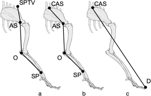Landmarks for measuring nerve lengths 1, 2 and forelimb length. Solid circles,landmarks. Solid line measured from body surface using a soft and flexible measuringtape. Nerve length was measured in neutral position (a, b). Forelimb length wasmeasured at extended position (c). a, Nerve length 1; b, nerve length 2; c, forelimblength. AS, acromion of scapula; CAS, cranial angle of scapula; D, tip of third digit;O, olecranon; SP, stimulus point; SPTV, spinous process of first thoracicvertebra.