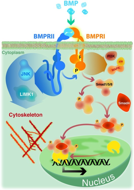 BMP signaling. Smad signaling is initiated upon phosphorylation of Smad-1, -5 or -8 by a heteromeric complex of BMPRII, BMPRI and BMP ligand. Phosphorylated Smads recruit Smad-4 and translocate to the nucleus where, in association with co-repressors or co-activators, regulate the transcription of specific target genes. Non Smad pathways, such as p38 MAP kinase and PI3 kinase, are also initiated by heteromeric complexes. The activity of cytoskeleton regulators mediating actin remodeling (LIMK1) and microtubule stabilization (JNK) are dependent on its ability to bind to the long cytoplasmic tail of BMPRII.