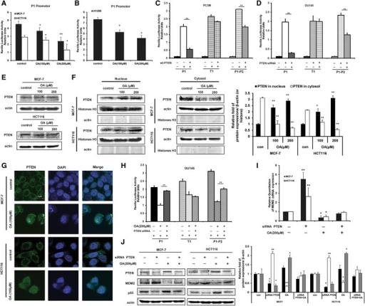 Oroxylin A inhibits the transcription of MDM2 via PTEN. (A) MCF-7 and HCT116 cells were transfected with an MDM2 promoter luciferase reporter plasmid (pGL3Basic-Mdm-P1-luc) and then treated with oroxylin A for 48 h. Luciferase activity was normalized to Renilla activity and expressed as luciferase/Renilla relative units. (B) H1299 cells were transfected with an MDM2 promoter luciferase reporter plasmid (pGL3Basic-Mdm-P1-luc) and then treated with oroxylin A for 48 h. Luciferase activity was measured. (C) Wt-PTEN plasmids were respectively co-transfected with MDM2 promoter luciferase reporter plasmids (pGL3Basic-Mdm-P1-luc, pGL3Basic-Mdm-T1-luc, or pGL3Basic-Mdm-P1-P2-luc) into PC3M cells. Luciferase activity was measured. (D) PTEN siRNA were respectively co-transfected with MDM2 promoter luciferase reporter plasmids (pGL3Basic-Mdm-P1-luc, pGL3Basic-Mdm-T1-luc, or pGL3Basic-Mdm-P1-P2-luc) into DU145 cells. Luciferase activity was measured. (E) Cells were treated with oroxylin A for 48 h. Western blot assays were performed for PTEN. (F) Nucleus and cytosolic fractions were isolated after treatment and subjected to Western blot analysis for PTEN. (G) Immunofluorescence experiment performed in MCF-7 and HCT116 cells upon oroxylin A treatment using antibodies specific to PTEN and DAPI. (H) PTEN siRNA were respectively co-transfected with MDM2 promoter luciferase reporter plasmids (pGL3Basic-Mdm-P1-luc, pGL3Basic-Mdm-T1-luc, or pGL3Basic-Mdm-P1-P2-luc) into DU145 cells. Cells were then treated with 200 μΜ oroxylin A for 48 h. Luciferase activity was measured. (I) MCF-7 and HCT116 cells were transfected with siRNA targeting PTEN or with a non-targeting control siRNA, then incubated with 200 μM oroxylin A for 48 h. The mRNA expression of MDM2 was detected by Quantitative RT-PCR. (J) Cells were transfected with siRNA targeting PTEN or with a non-targeting control siRNA and incubated with 200 μM oroxylin A for 48 h. Western blot assays were performed for p53, MDM2, and PTEN. All the Western Blot bands were quantified. Bars, SD; *p < 0.05 or **p < 0.01 versus non-treated control.