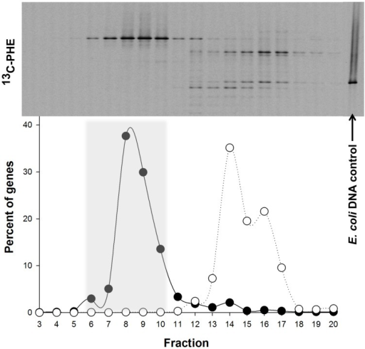 Distribution of the 'heavy' and 'light' DNA in separated SIP fractions. The top of the panel shows the denaturing gradient gel electrophoresis (DGGE) profiles of bacterial PCR products from separated [13C]-PHE fractions with decreasing densities from left to right. The position of unlabeled Escherichia coli DNA, which was used as an internal control in all three isopycnic centrifugations, is shown on the right. The distribution of qPCR-quantified 16S rRNA gene sequences in fractions from [13C]-PHE incubations is shown below the DGGE image for Cycloclasticus (●) and for E. coli (○). Fractions 6–10 (shaded area) were determined to represent 13C heavy DNA and were combined for further analysis. Gene abundance in a fraction are presented as a percentage of the total bacterial 16S rRNA genes quantified in the displayed range of fractions. DGGE banding patterns for a given fraction are aligned with the corresponding gene abundance data below.