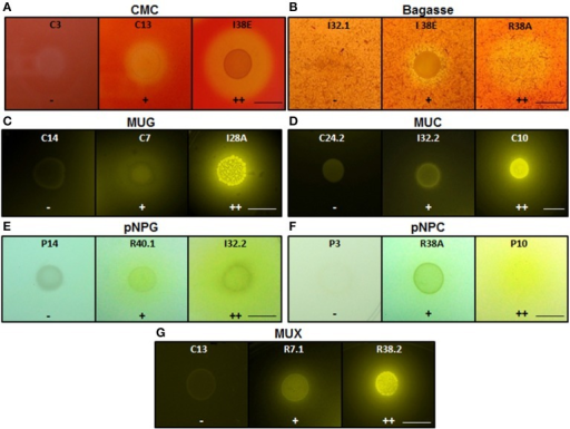 Enzymatic agar plate assay. Representative negative, positive, and double positive isolates for each substrate are shown. (A) CMC, carboxymethylcellulose; (B) Bagasse, powdered sugarcane bagasse; (C) MUG, 4-methylumbelliferyl-β-D-glucopyranoside; (D) MUC, 4-methylumbelliferyl-β-D-cellobioside; (E) pNPG, p-nitrophenyl-β-D-glucopyranoside; (F) pNPC, p-nitrophenyl-β-D-cellobioside; and (G) MUX, 4-methylumbelliferyl-β-D-xylopyranoside. For bagasse and CMC, the enzyme detection was based on the appearance of negative halo after Congo red stain. For the fluorescent MUC, MUG, and MUX, the plates were UV-irradiated. For the colorimetric substrates pNPC and pNPG, the enzymatic activity was proportional to the development of yellow color. Legends: (−), no detectable hydrolysis; (+), hydrolysis; (++), high hydrolysis. Strains were designated C to indicate isolated from crop; I, from intestine; R, from rectum. Scale bar, 1.0 cm. Note that scale bar applies to all three panels in a series. Also note that strain IDs are shown.