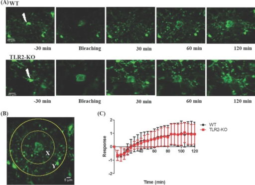 The microglial response to brain injury in TLR2-KO and WT mice. (A) Representative images for the microglial response to brain tissue injury with time (-30, 0, 60, 120 min post-injury) in WT and TLR2-KO mice. (B) To quantify the microglial response toward laser-induced injury, we measured the number of pixels entering from the outer area Y (70 µm in radius) into the inner area X (35 µm in radius). The number of GFP pixels in area X or Y were measured at each time point (Rx(t) or Ry(t)), and the microglial response was defined as R(t)=(Rx(t)-Rx(0))/Ry(0). (C) Quantification of microglial response to laser ablation in TLR2KO (n=3) and WT (n=3) mice. Data are presented as mean±SEM.