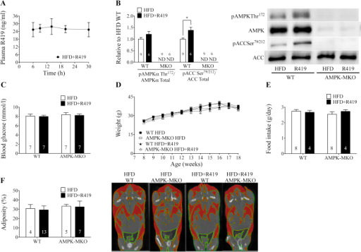 R419 acutely activates skeletal muscle AMPK but does not induce hypoglycemia. A lack of skeletal muscle AMPK or R419 treatment does not alter weight gain or adiposity in mice fed a HFD. (A) Plasma concentration of R419 when WT mice were given HFD + R419 at a dose of 100 mg/kg HFD (n = 5). (B) AMPK Thr172 relative to AMPKα (from separate gels) (p = 0.16) and ACC Ser79/212 relative to ACC (from separate gels) in TA muscle from WT and AMPK-MKO mice 3 h following HFD or HFD + R419 administration. ND, not detectable. (C) Blood glucose concentrations 3 h following HFD or HFD + R419 administration in WT and AMPK-MKO mice. (D) Body mass of HFD WT and AMPK-MKO mice treated with or without R419 (two-way repeated measures ANOVA). (E) Food intake of HFD WT and AMPK-MKO mice treated with or without R419. (F) Measured body percent adiposity with representative CT images. Highlighted red areas represent adipose region. Numbers within bars represent number of mice per group. Data are expressed as means ± SEM, ∗p < 0.05, for difference from HFD vs HFD + R419, as assessed by student's t-test (B).