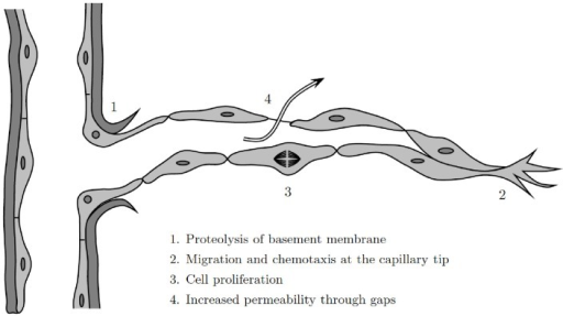 Illustration of the angiogenesis process at a discrete cell level, modified from Cotran et al. (1999).