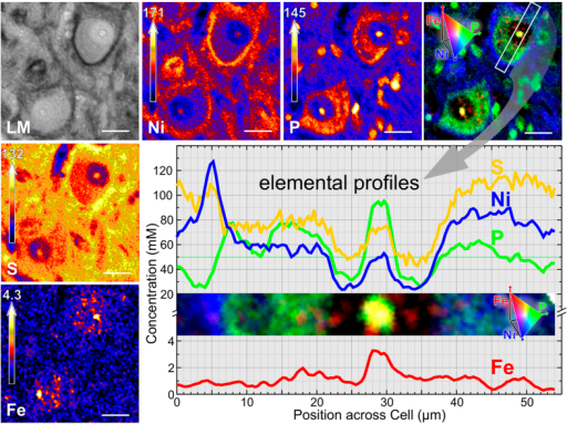 Light micrograph (LM) and quantitative PIXE elemental images of two PN-ensheathed neurons in rat brainstem (7 μm thick section, PNs visualized using WFA-binding enhanced by DAB-Ni staining (grey-black pigment)).(Ni) In the nickel map, PNs are visible due to the Ni-accumulation after immunohistochemical staining. (P) The phosphorus map mainly represents the distribution of the phosphate rich RNA and DNA, i.e. the Nissl substance in the neuronal cytoplasm and the nucleolus, but also glia cell nuclei. (S) The sulphur distribution reflects the extracellular matrix. Due to the sulfate rich chondroitin components of the PN the concentration is higher at the PN. (Fe) The iron map shows diffuse cytosolic and nuclear distribution and a prominent signal over the nucleolus. (Fe-P-Ni) In the three-element image of phosphorus (green), nickel (blue) and iron (red), iron can clearly be allocated to subcellular compartments delineated by the phosphorus image. Elemental profiles are given for the traverse through the PN ensheathed neuron. Scale bar: 20 μm, top concentration at the color scale in mM.