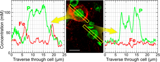 Elemental profiles of Fe and P across the somata of two neurons one with PN (upper cell) and one without PN (lower cell) extracted from PIXE element imaging data (tissue loaded with 1.68 mM FeCl3).The PN (previously identified within the Ni-map, not shown) localized on the outer surface of the soma shows a local increase in iron concentration several fold above the surrounding extracellular matrix and neuropil. Scale bar: 10 μm.