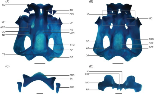 Alcian blue-stained neurocranium and the first visceral arch of Nasikabatrachus sahyadrensis at stage 30.(A) Dorsal view. (B) Ventral view. (C) Upper jaw. (D) Lower jaw. Abbreviations: ADS, adrostral cartilage; AP, ascending process; ARP, articular process; ASO, arcus subocularis; COI, commissura intramandibularis; CPF, craniopalatine foramen; IC, infrarostral cartilage; LON, lamina orbitonasalis; LP, lateral process; MC, Meckel's cartilage; MP, muscular process; NS, nasal septum; NT, nasal tectum; OC, otic capsule; OP, otic process; PCF, primary carotid foramen; QC, quadratocranial commissure; RP, retroarticular process; SA, suprarostral ala; SC, suprarostral cartilage; SF, subocular fenestra; SMC, suprarostral medial corpus; TH, trabecular horns; TS, synotic tectum; TTM, taenia tecti marginalis. Scale bars: 1 mm.
