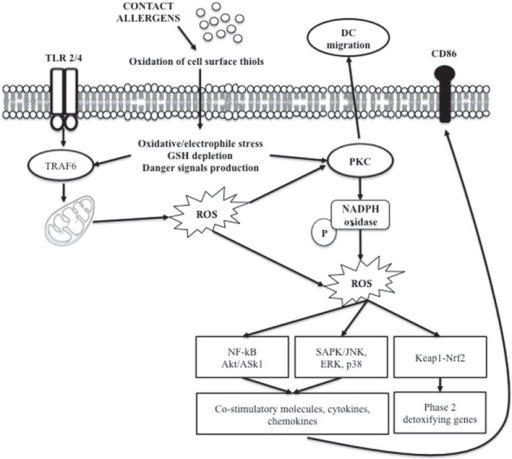 Role of ROS in chemical allergen-induced DC activation.